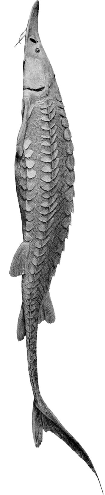 Scaphirhynchus_platorynchus copy